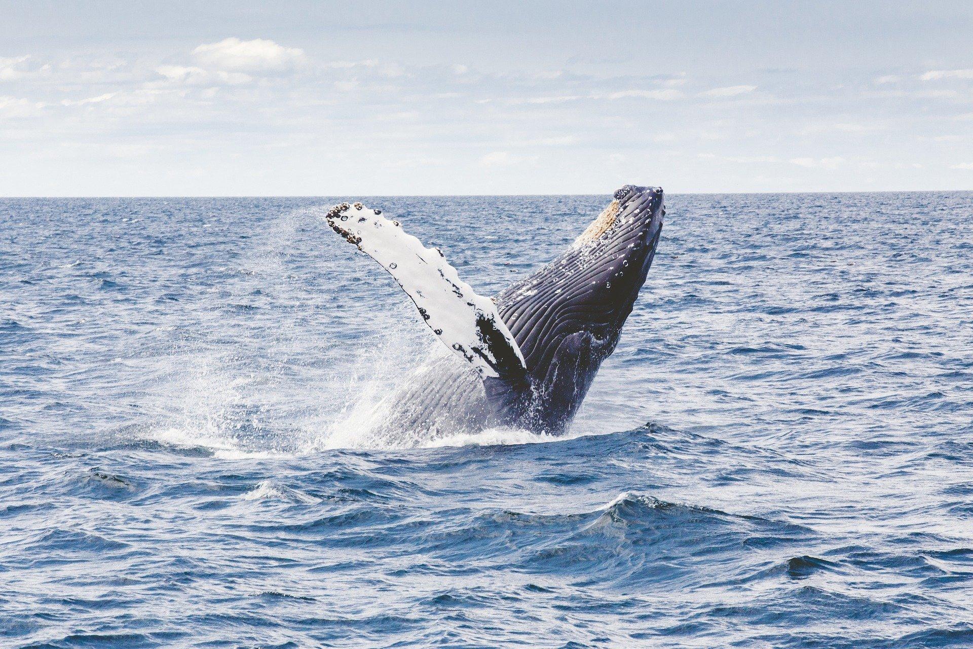 humpback-whale-12092971920-1584026805.jpg