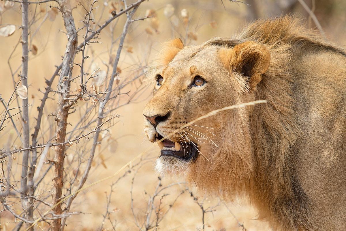leone-a-mukuni-zambia-copia-1584026148-1584354762.jpg